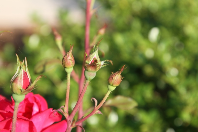Red buds from a rose bush