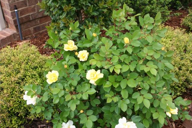 Yellow rose bush